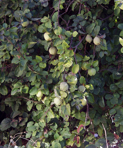 quince_tree
