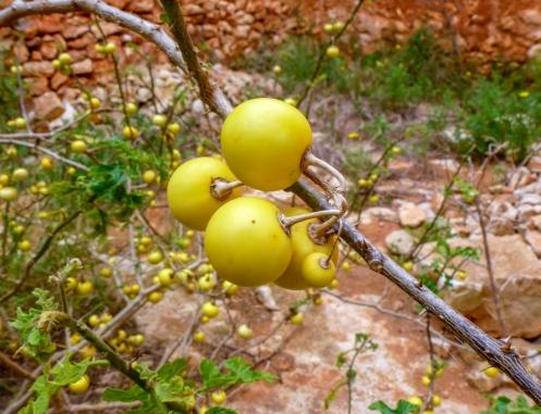 Solanum linnaeanum 1