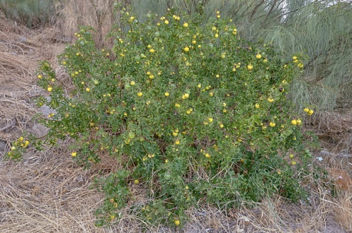 Solanum linnaeanum 2