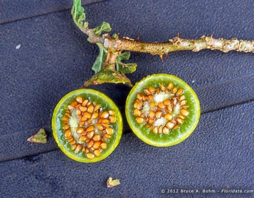 Solanum linnaeanum 4